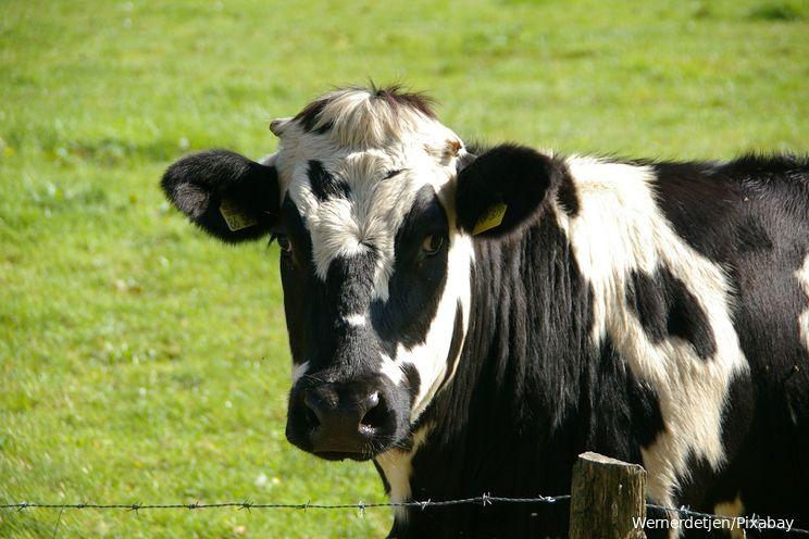 Video| Koe wordt na 100 kilometer lange reis uit de Maas gered