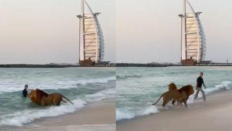 Gezellig je leeuwen uitlaten op het strand van Dubai