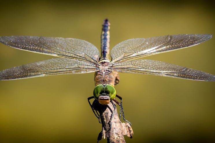 Klimaatverandering en urbanisatie vormen groot probleem voor de libelle